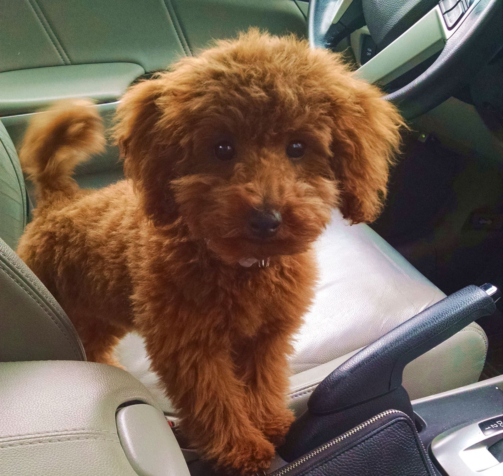 Brown Adult Miniature Poodle