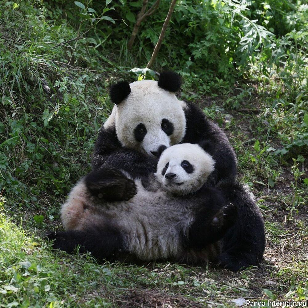 Help Feed Baby Pandas #babypandas