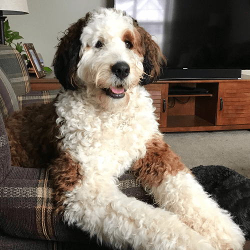 20 Cute Poodle Mixes That'll Melt Your Heart | Page 3 of 5 | The Dogman
