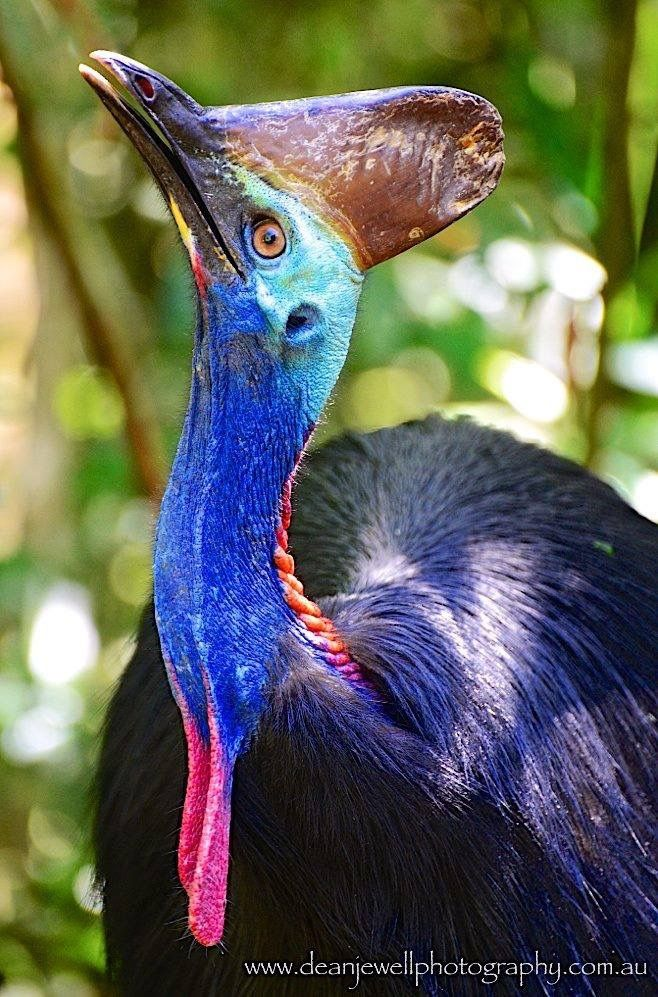 Male Adult Southern Cassowary in the Daintree Rain Forest