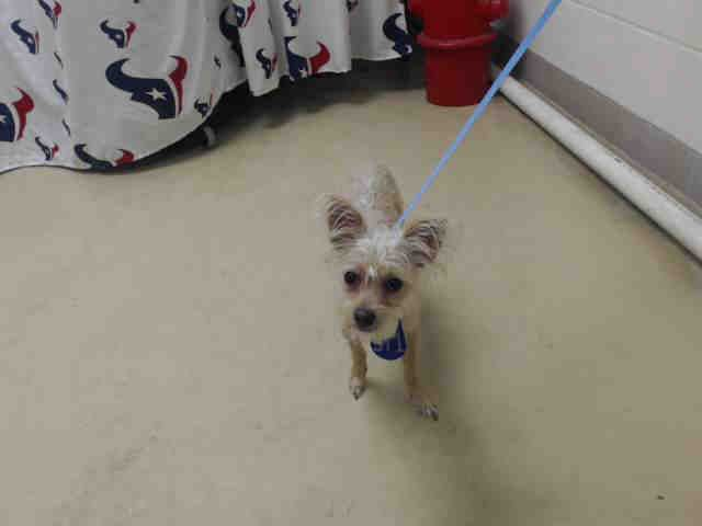 Oliver Id A466443 Urgent Harris County Animal Shelter In Houston Texas Adopt Or Foster 1 Year Old Male Chihuahua A Animal Shelter Humane Society Save A Dog