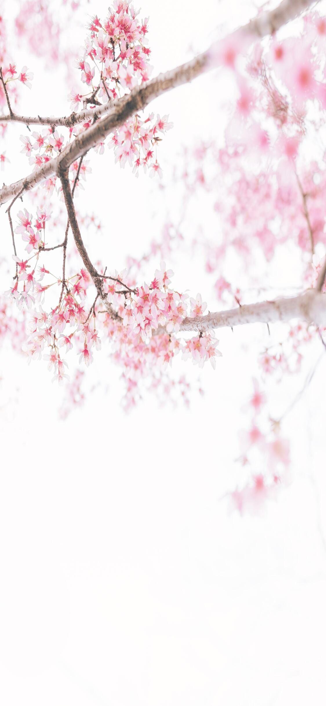 Top Spring Wallpaper 4k Hd In 2020 Spring Wallpaper Cherry Blossom Wallpaper Spring Flowers Background