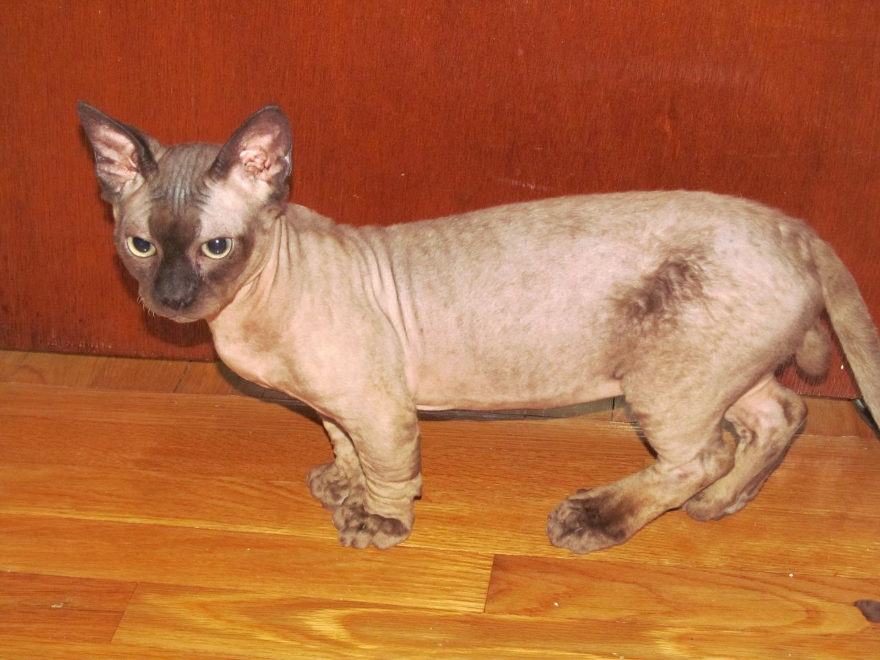 pictures of minskin cat minskin cats and kittens pinterest