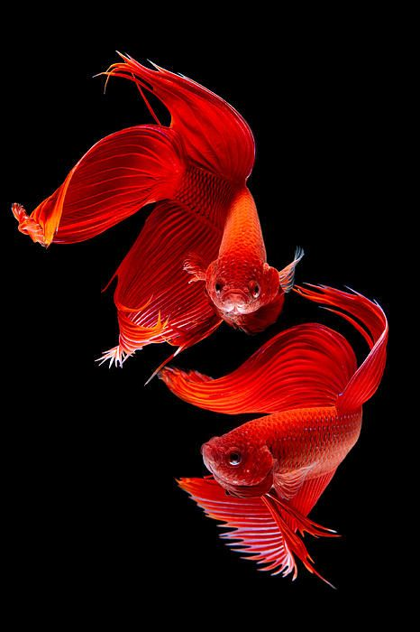 Siamese Fish By Subpong Ittitanakul Fish Art Pretty Fish Colorful Fish