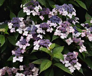Climbing Hydrangea Is A Deciduous Blooming Vine That Loves Shade To Partial And Spreads Vertically From 20 30 Feet