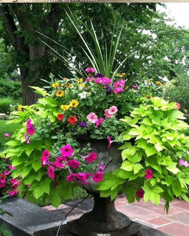 container garden dracaena or african iris center spike pink geranium mixed color trailing. Black Bedroom Furniture Sets. Home Design Ideas
