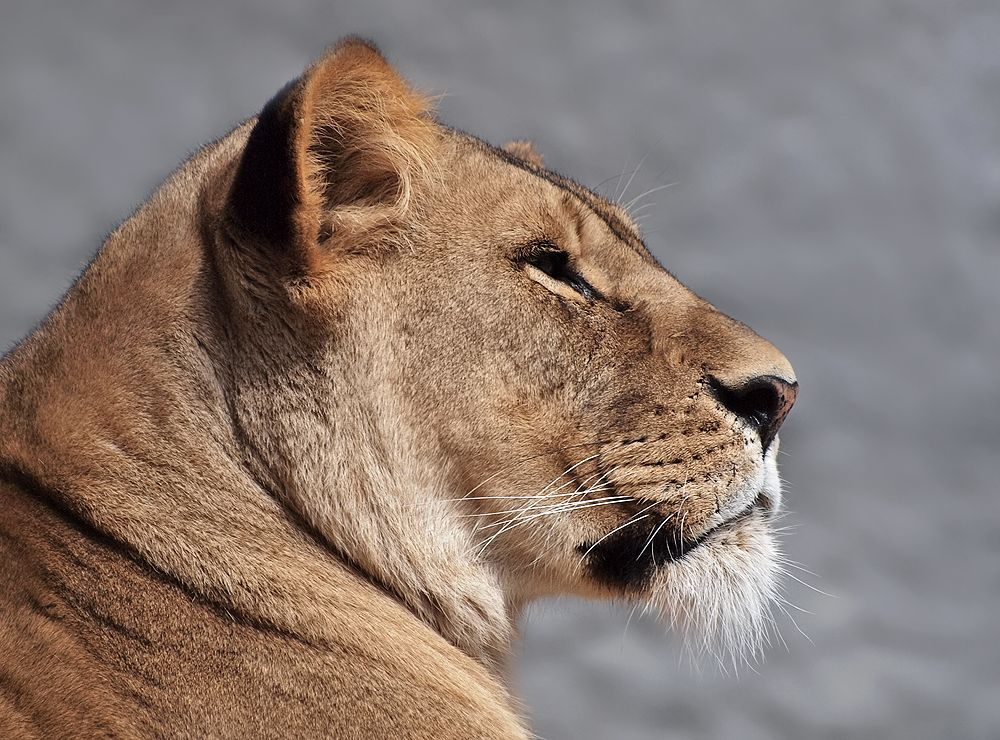 lioness face profile Google Search Animal books, Lion