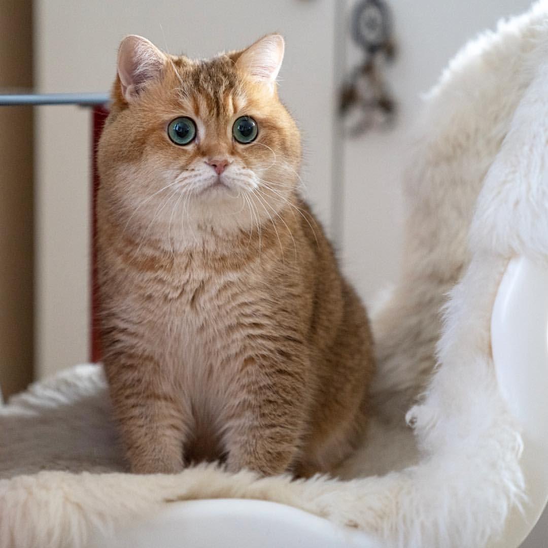 Hosico cat hosico_cat instagram posts videos