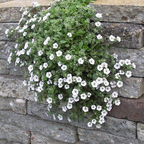 Creeping Babys Breath Ground Cover Seeds Gypsophila Repens White 100 Seeds Ground Cover Seeds Ground Cover Ground Cover Plants