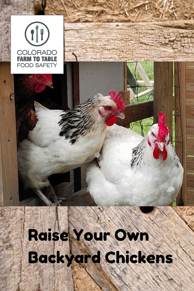 raising backyard chickens can provide you with fresh eggs pest