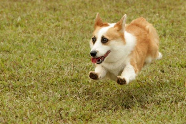 Running Corgi Cool Pets Cute Puppies