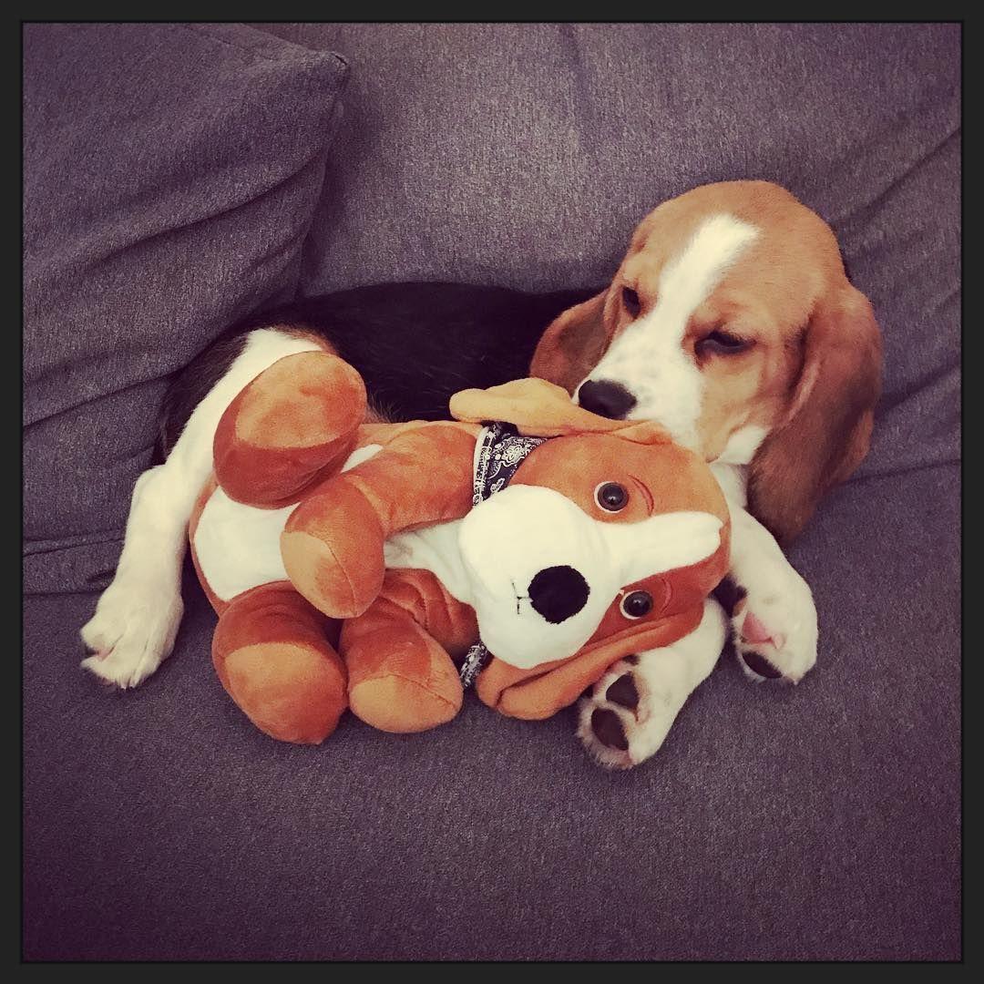 Pin by yalimed nanasi on beagles como principe pinterest