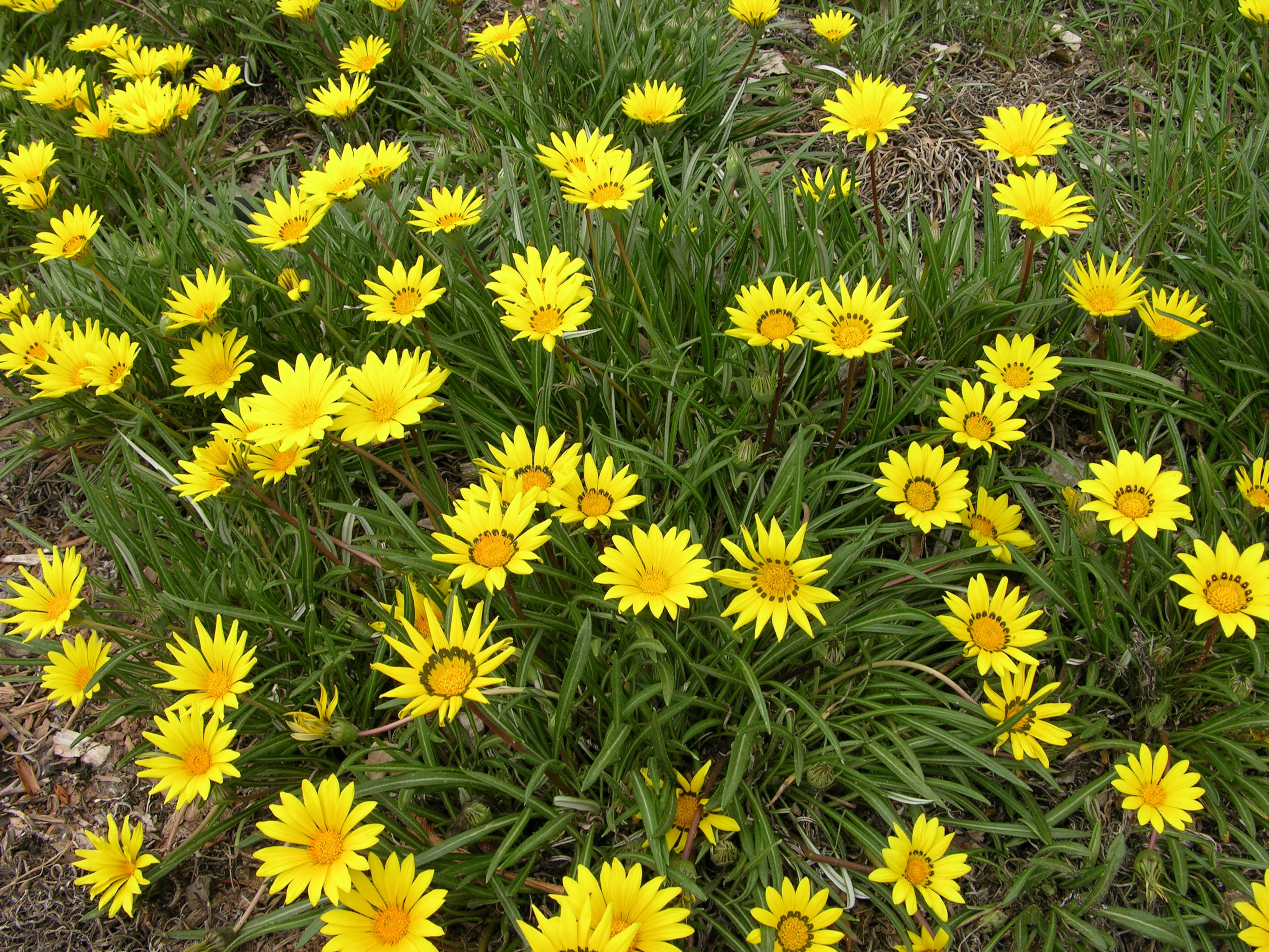 Colorado Gold Ganzia Side Yardsfront Yardslandscaping Plantsoutdoor Landscapingwater Plantsshade