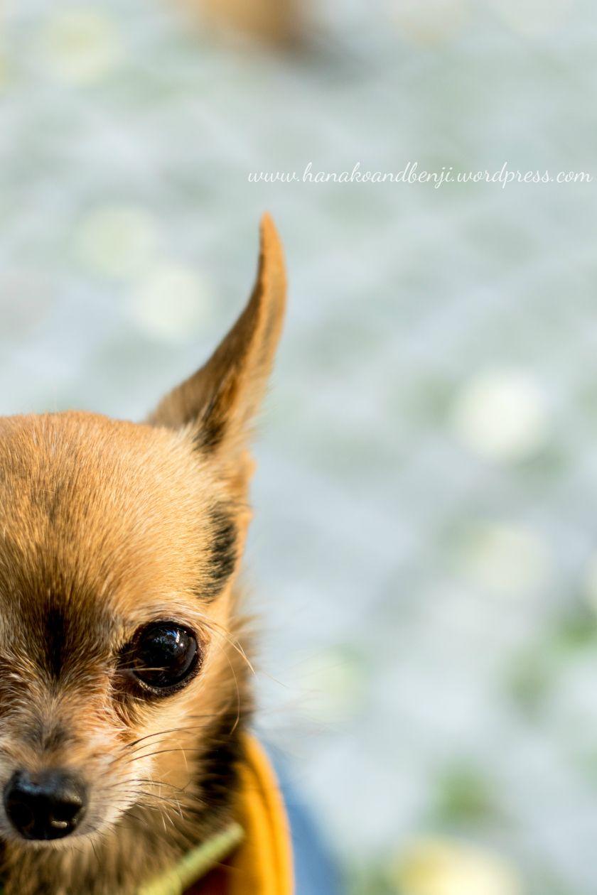 Benji The Chihuahua Yorkie Mix Kiwi S Photography Ottawa Pet