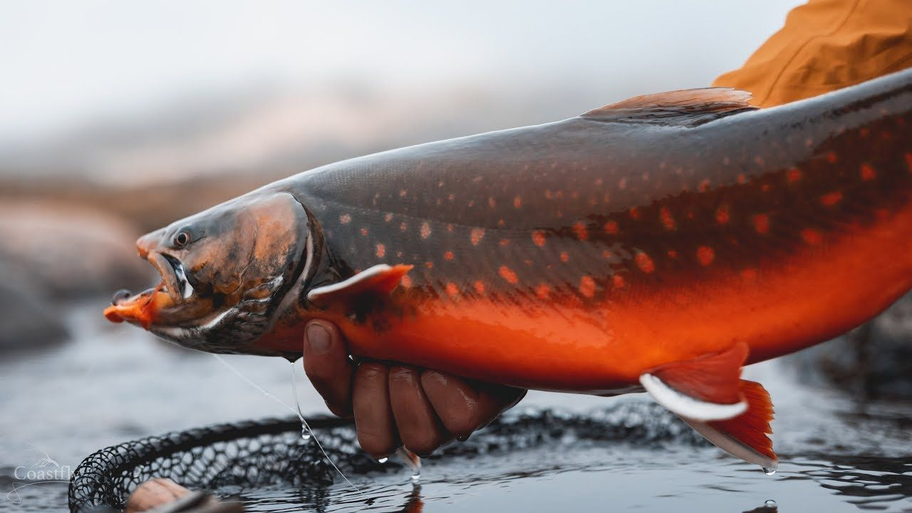 Fly Fishing For Arctic Char In Greenland Youtube Arctic Char Fly Fishing Freshwater Fishing