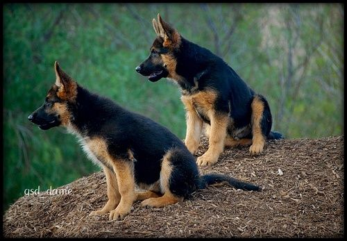 Pin By Kimmy Quarles On Smart Working Dogs Shepherd Puppies