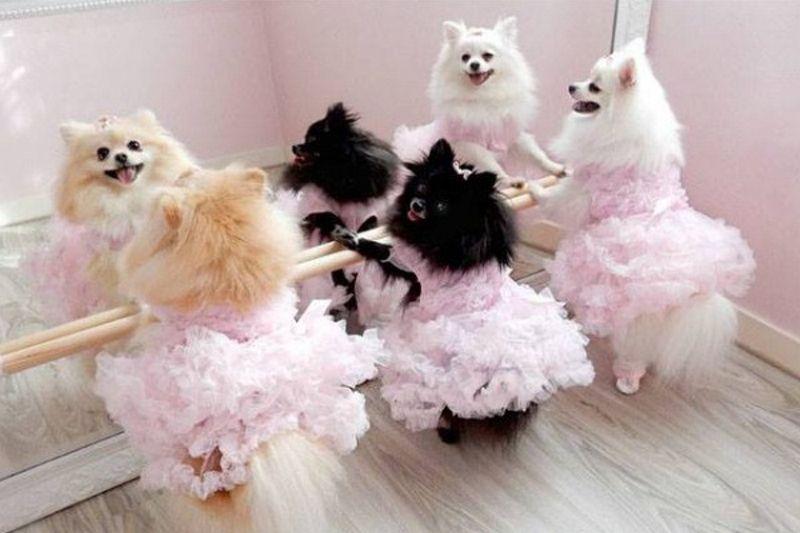 Halloween Pet Costume Contest Cute Baby Animals Pomeranian