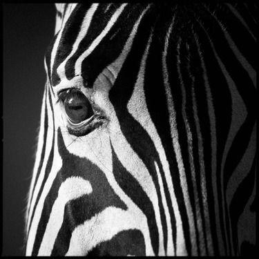 Artist laurent baheux photography zebra eye in the sunrise art