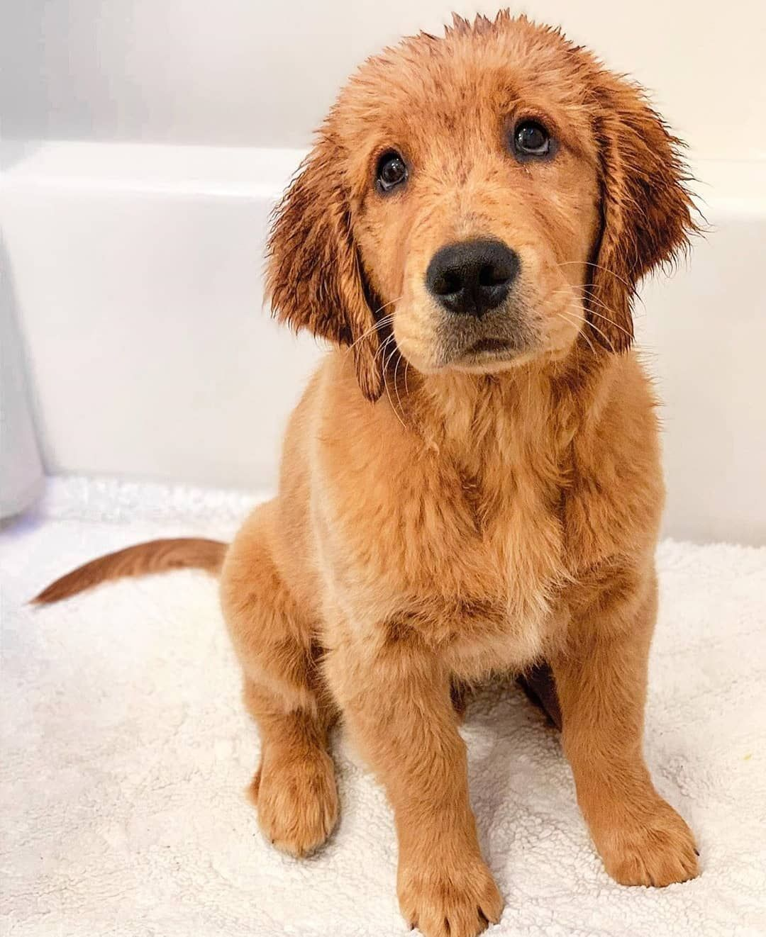 Pin By Jose On Golden Retriever In 2020 Cute Baby Animals Cute Little Animals Beautiful Dogs