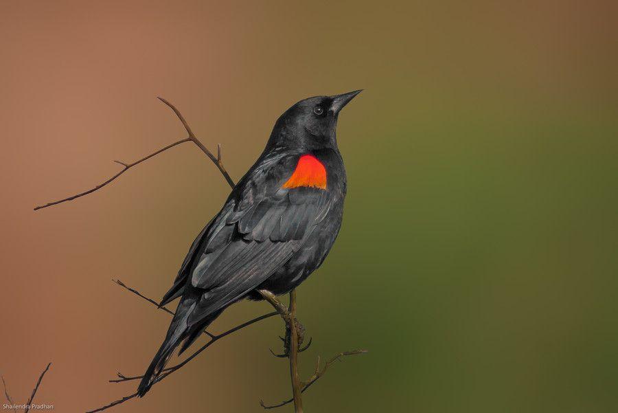 Red Winged Black Bird by Shailendra Pradhan on 500px