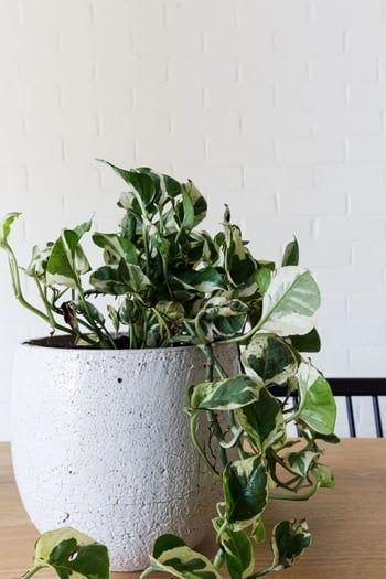 19 Plantes Grimpantes Pour Vegetaliser Votre Interieur Plante