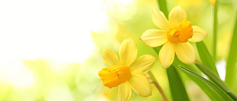 Fresh Daffodils Background Daffodils Floral Background White Background Images