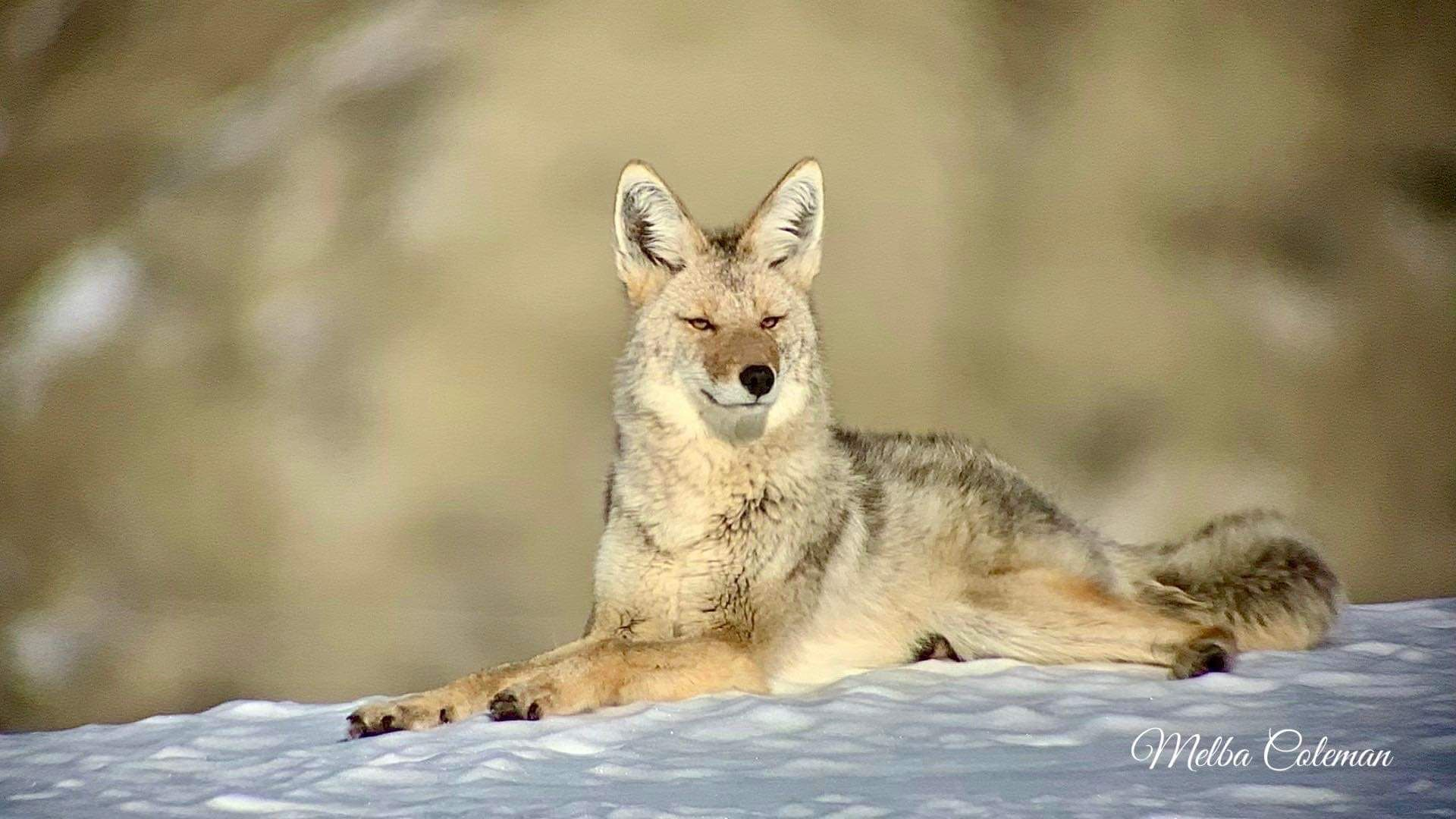 Pin by doug porterfield on animal coyotes in 2020