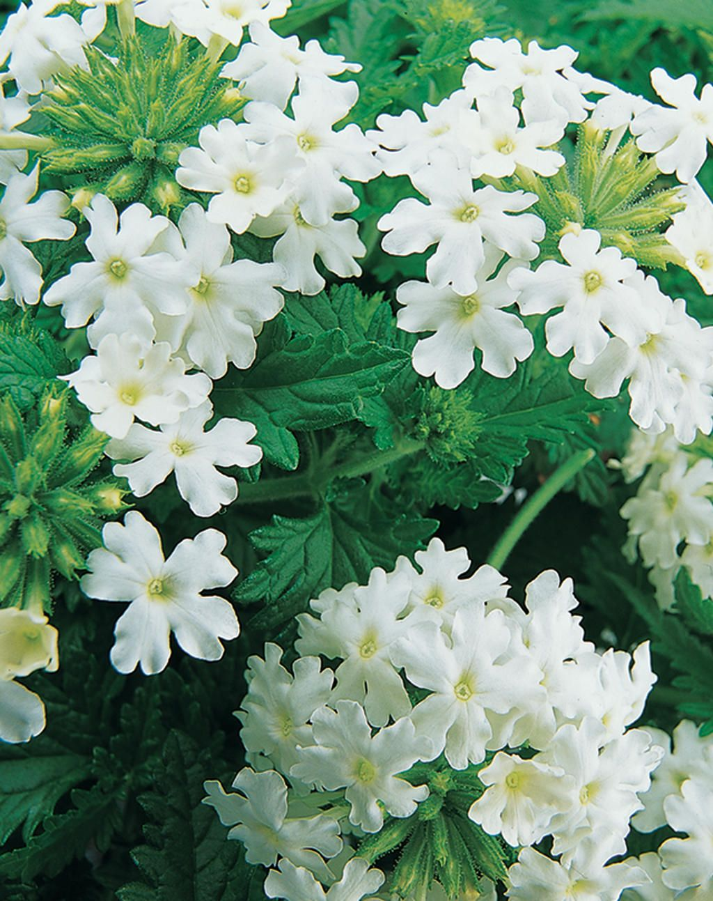 Verbena Lanai, White Blush heat and drought tolerant