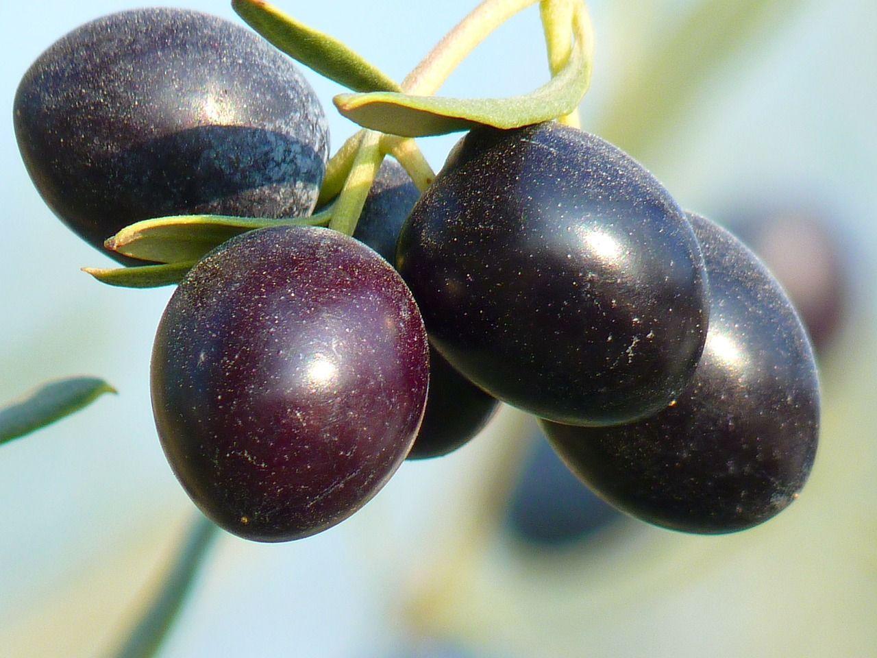 Free Image on Pixabay Olives, Fruit, Olive Tree (mit