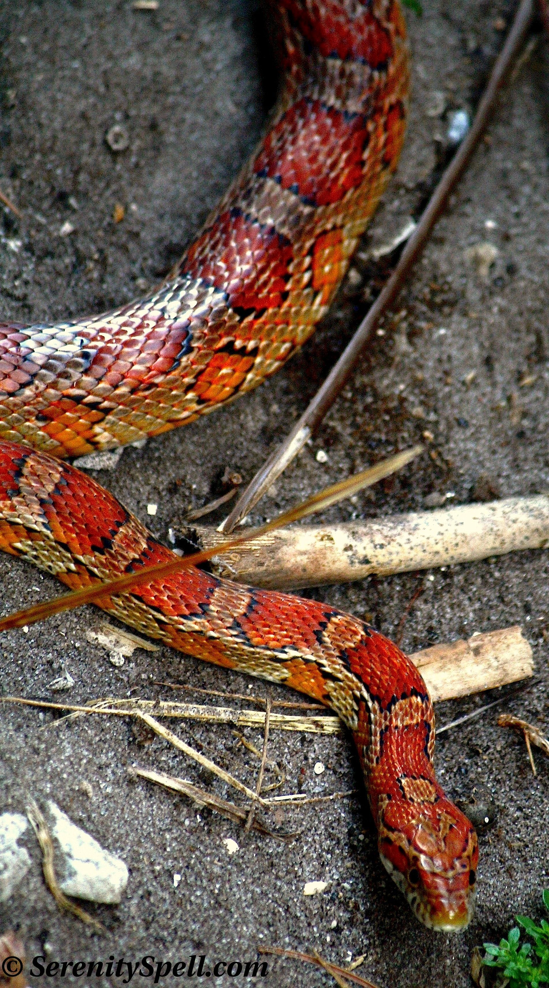 Corn Snake Or Red Rat Snake Florida Wetlands This Was The First Kind Of Snake I Owned Corn Snake Pet Snake Reptile Snakes