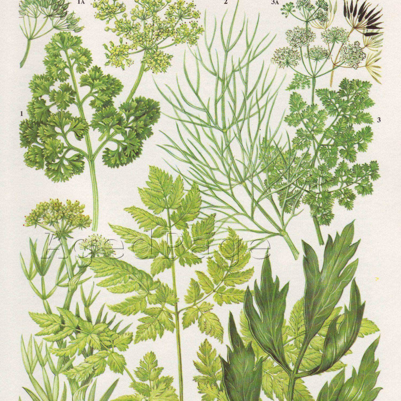 Vintage Botanical Print, Plant Illustration to Frame, Home and ...