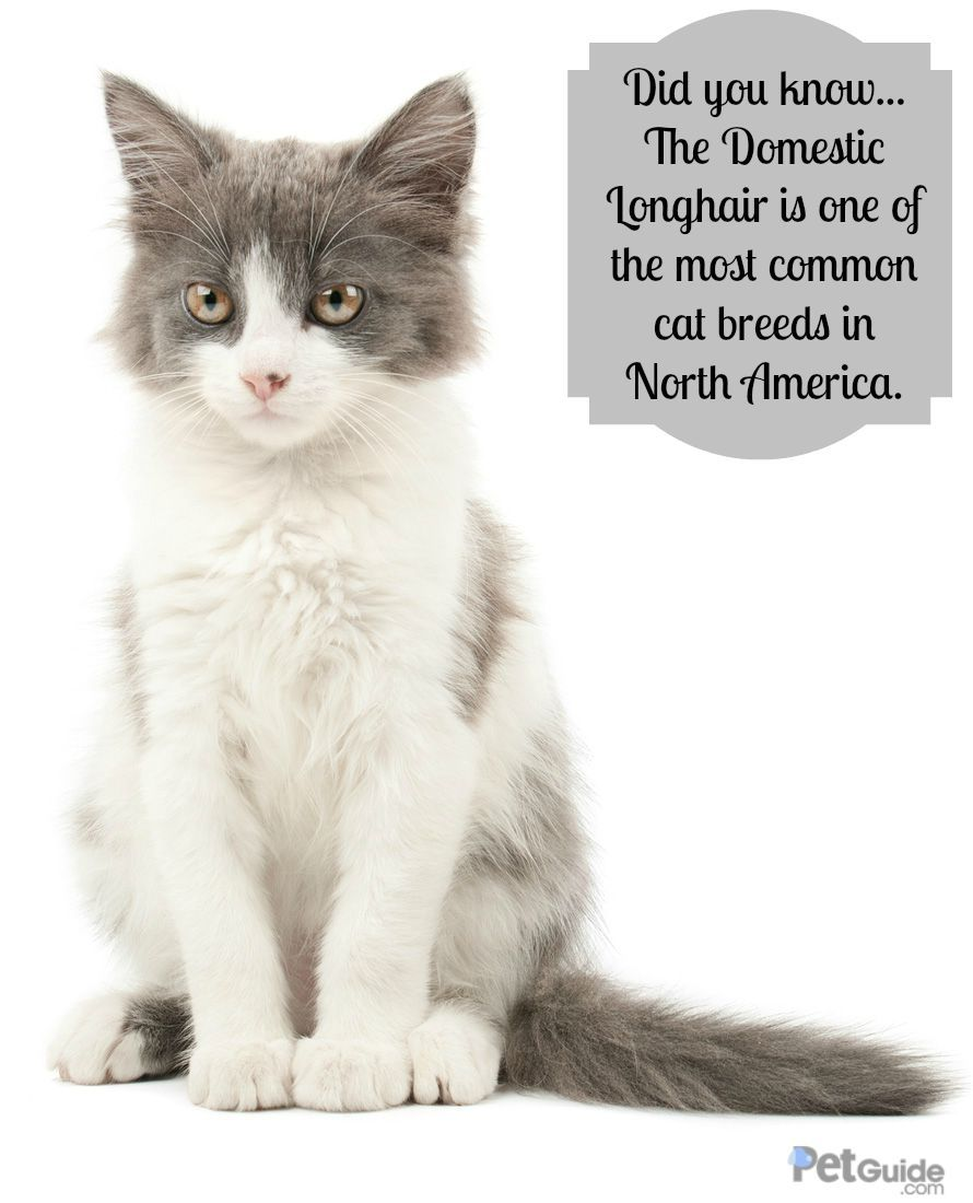 Domestic Longhair Cat Information And Pictures Petguide Common Cat Breeds Cat Breeds Cats