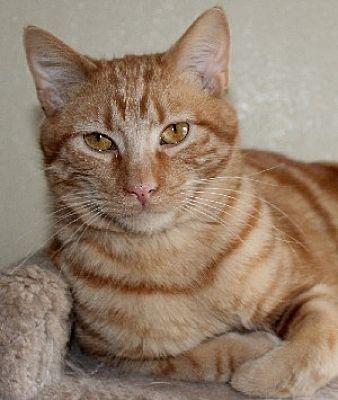 Savannah, MO Domestic Shorthair. Meet Chester a Cat for
