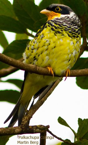 Palkachupa Cotinga(Phibalura boliviana)