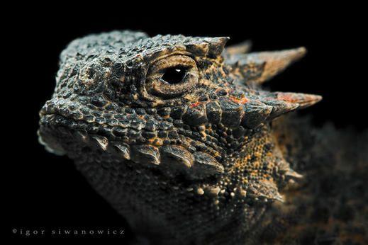 爬虫類系キメ顔写真館 カラパイア 両生動物 サバクツノトカゲ は虫類