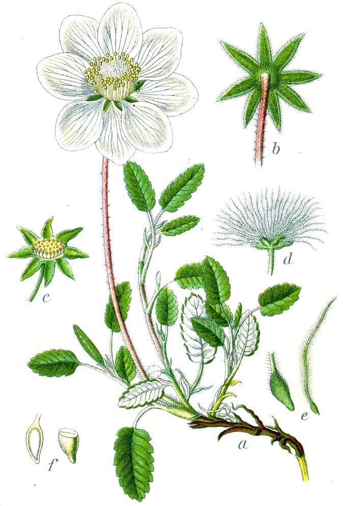 Dryas Octopetala Sturm43 Debik Osmioplatkowy Wikipedia Wolna Encyklopedia Historical Drawings Floral Botany Plant Images