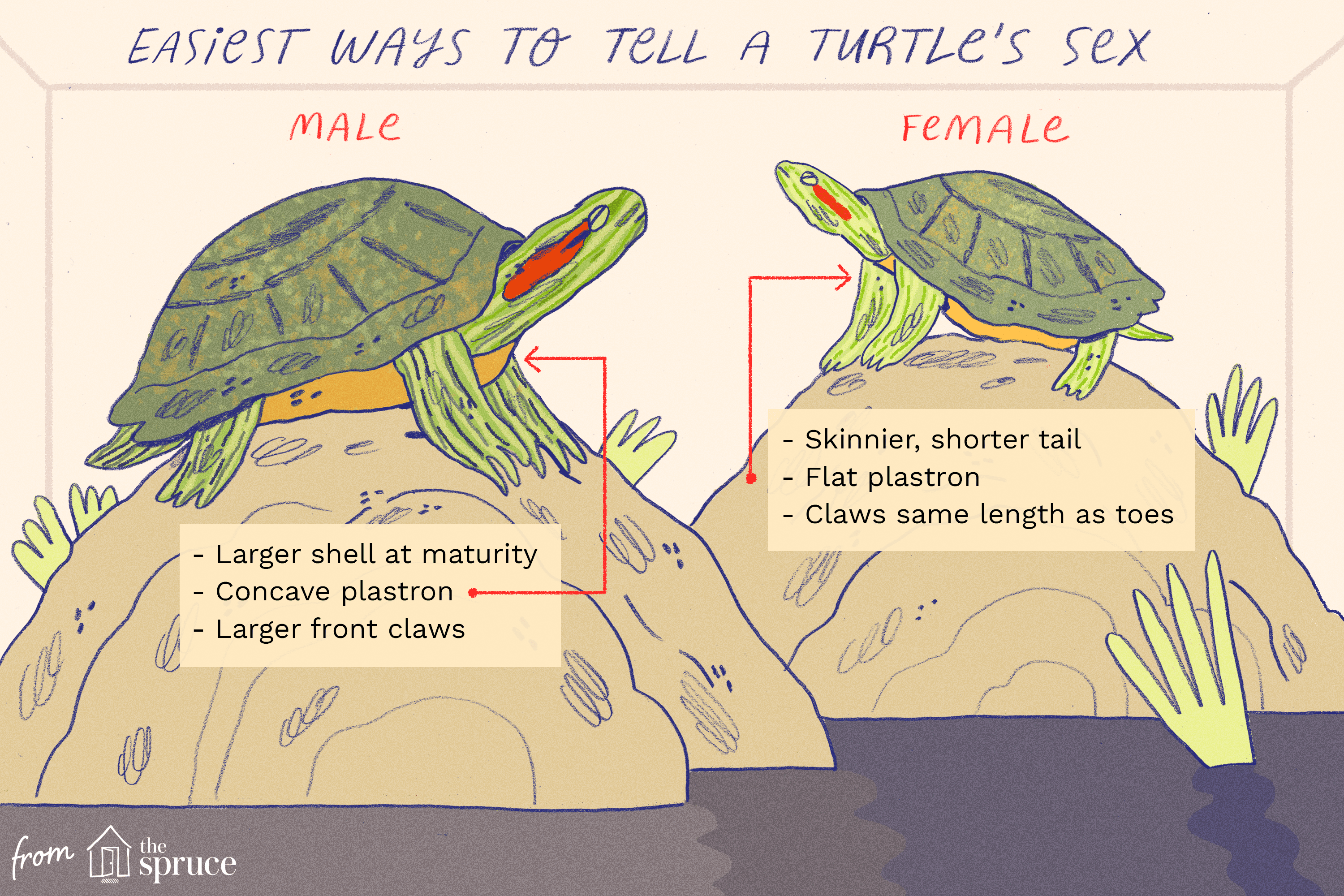 Determining The Gender Of A Turtle Red Eared Slider Turtle Turtle Care