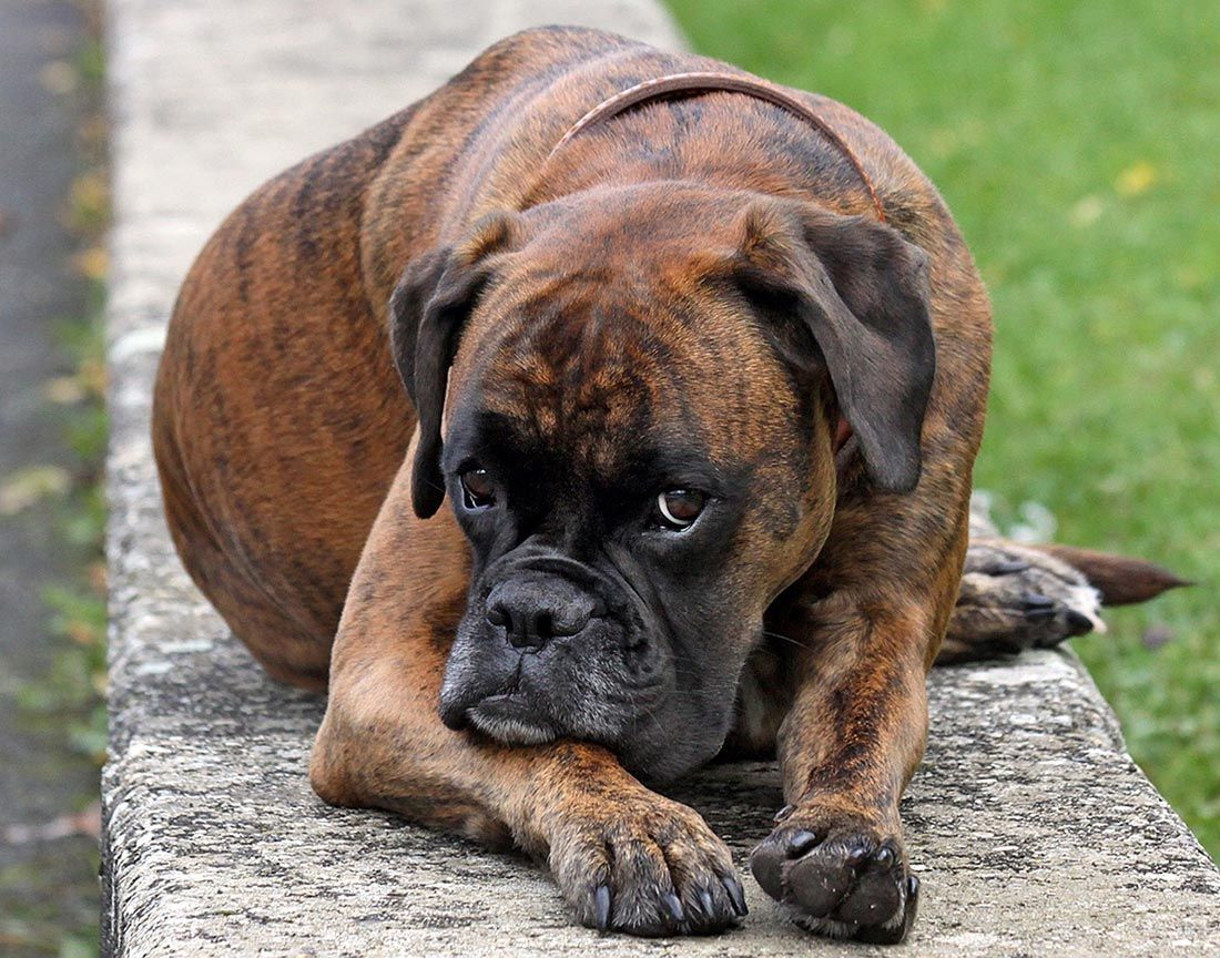 american boxer dog dogs wallpapers boxers pinterest american