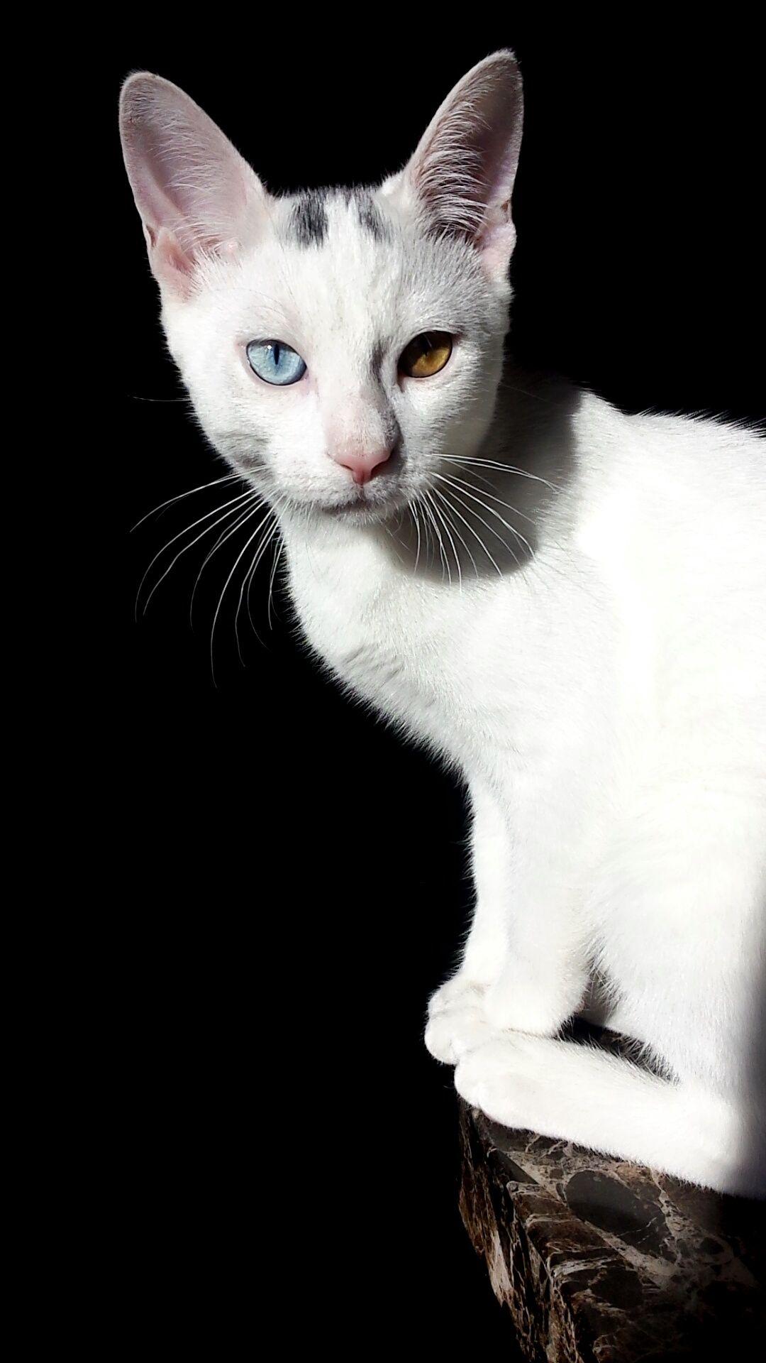 A cat with heterochromia