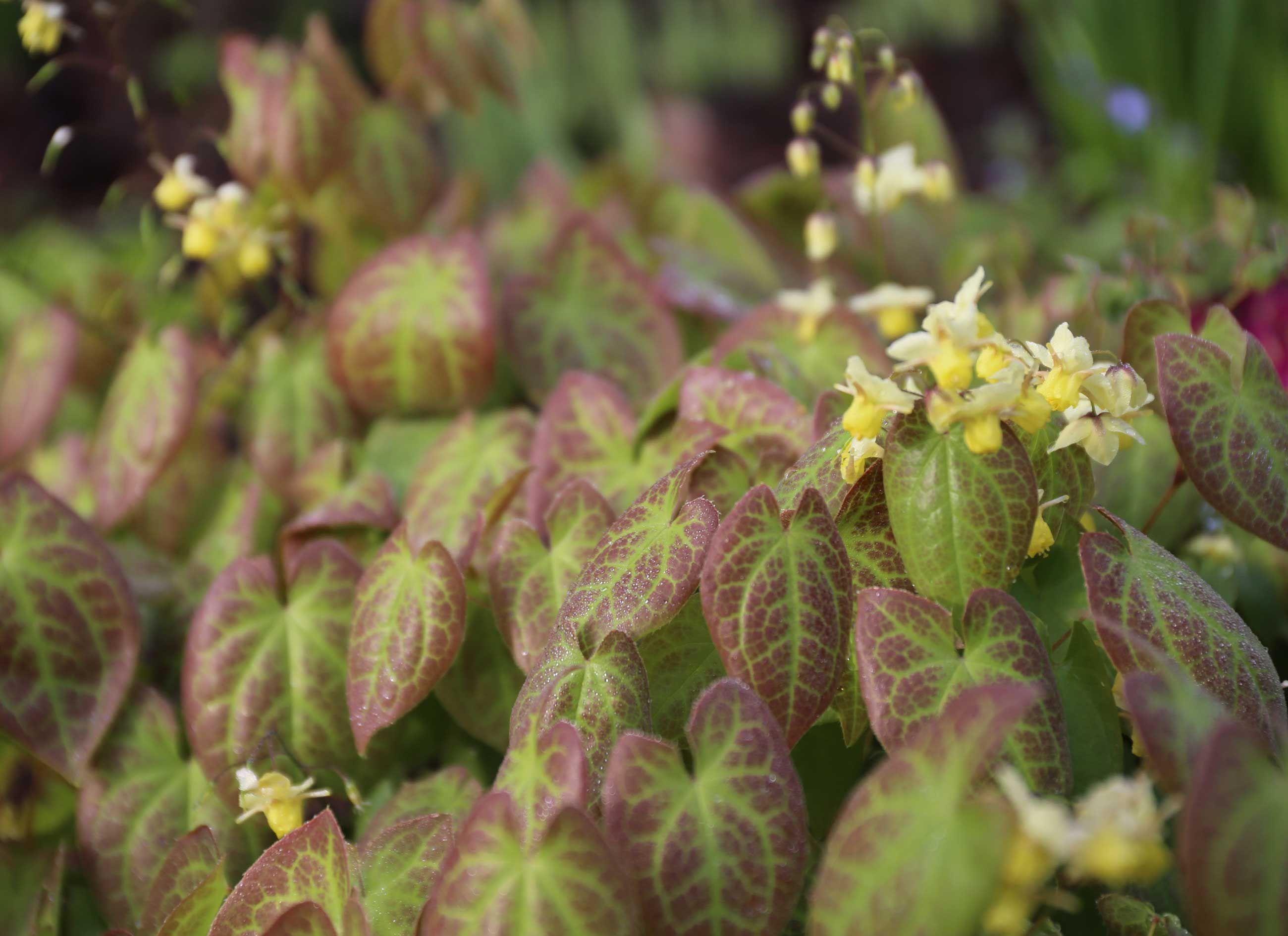 epimedium-best-companion-plants-for-hostas—Longfield-Gardens ...
