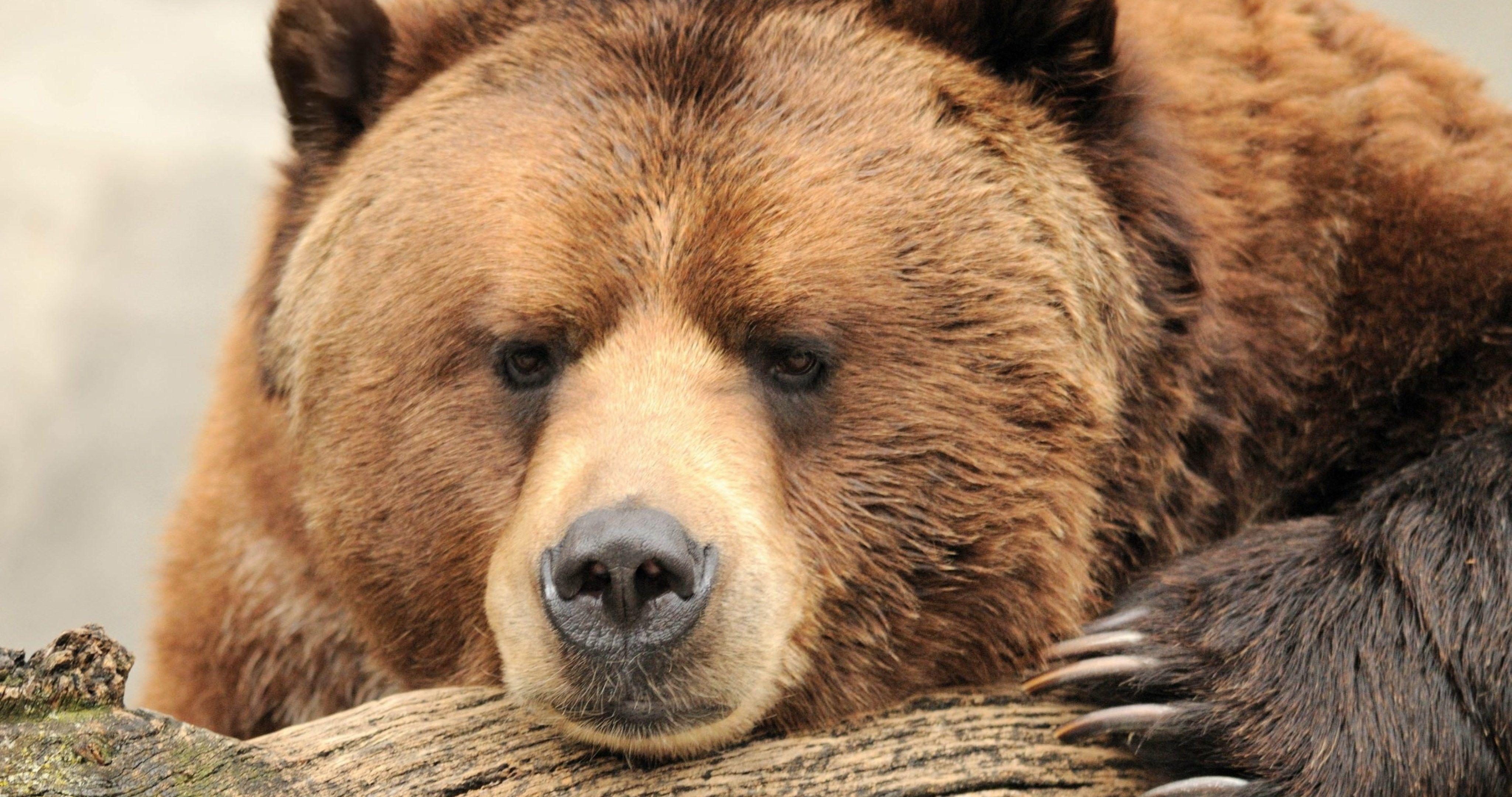 bear brown burry 4k ultra hd wallpaper Bear, Grizzly
