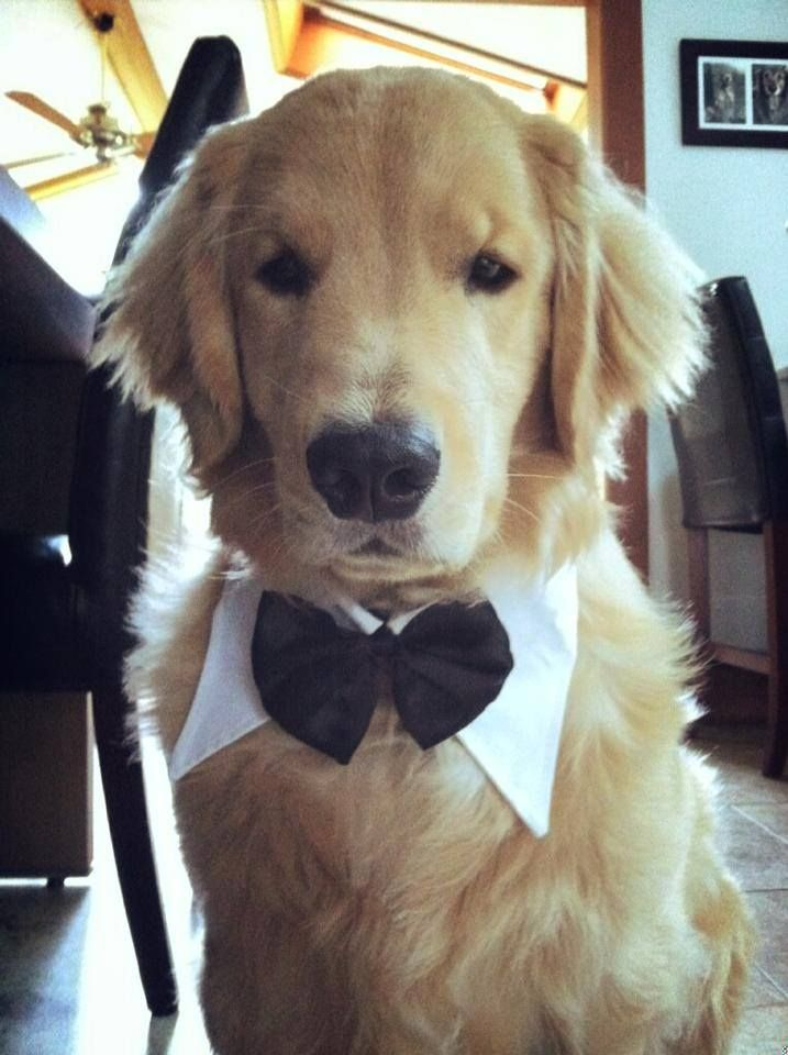Do You Ladies Think I Look Handsome In My New Tuxedo Dog