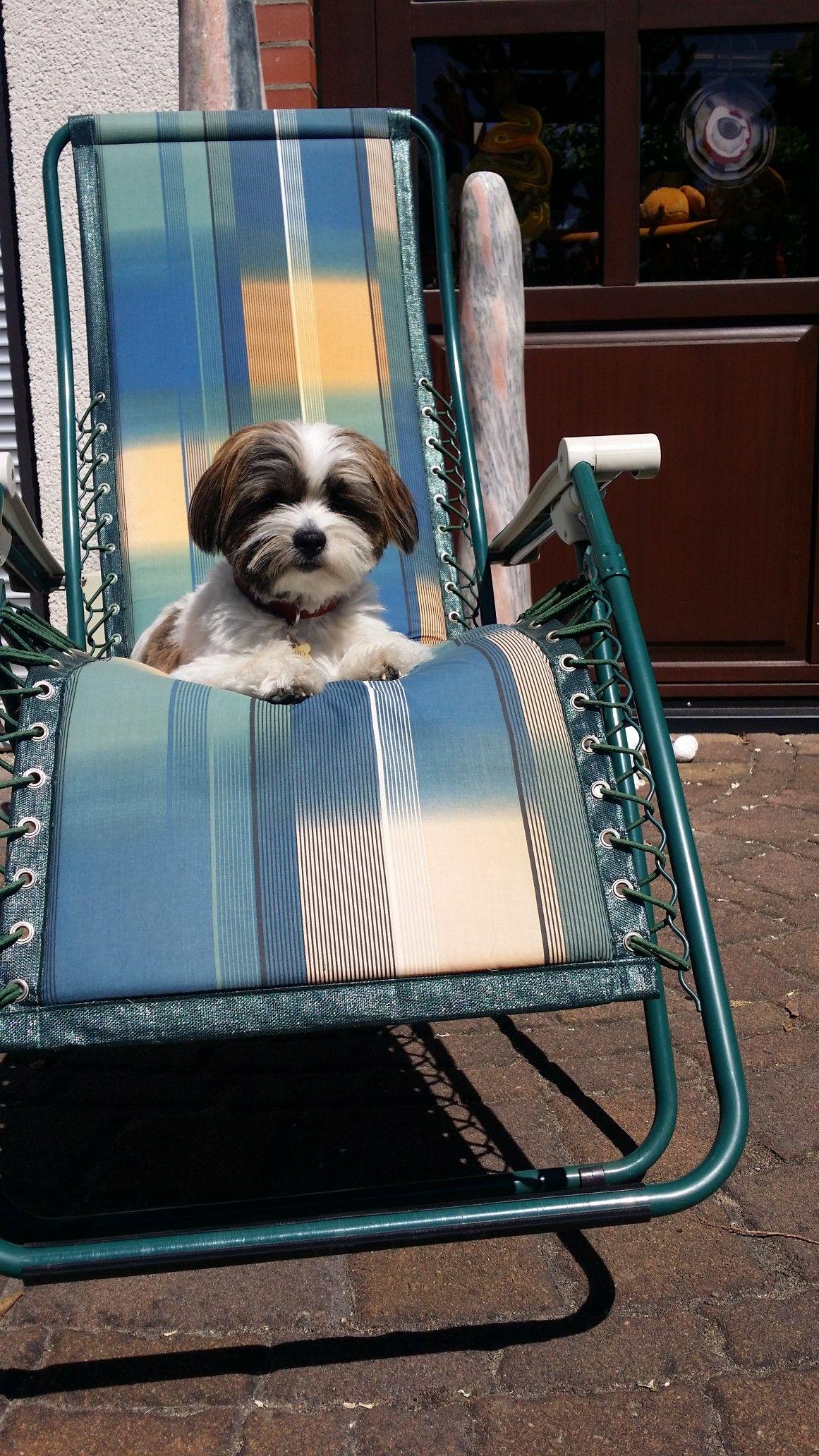 Shih Tzu Mix Bobby Berlin With Images Shih Tzu Outdoor Chairs Shih Tzu Mix