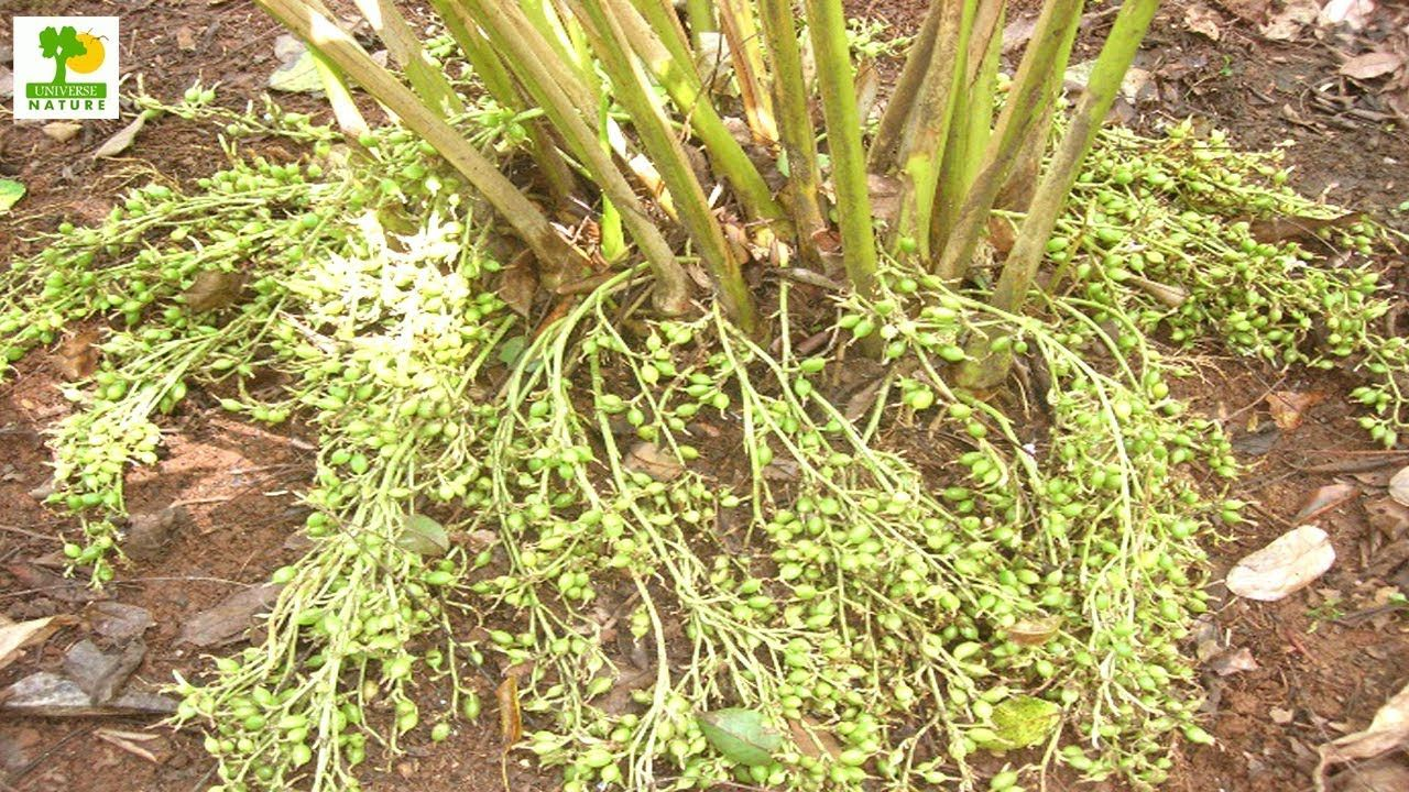 How to Make Money - Cardamom Farming with Low Investment and High