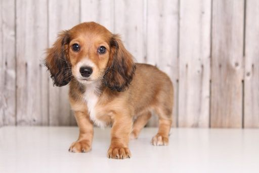 Dachshund Puppy For Sale In Mount Vernon Oh Adn 36889 On