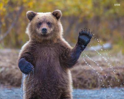 Ein Bär in der freien Natur Ein Braunbär der winkt. Hallo