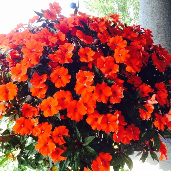 Beautiful Hanging Basket of Flowers