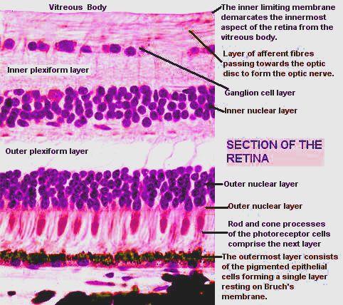 Normal histology of Retina Eye Pathology Online -   Human ...
