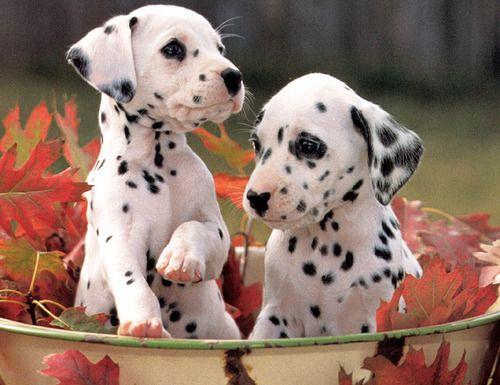 dalmatianss
