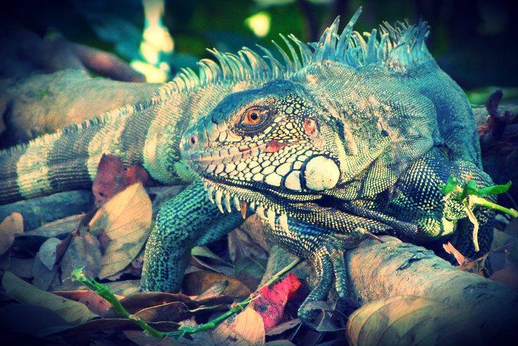 Nome Científico : Iguana iguana  Nome Vulgar : Iguana, Sinimbu  Origem : América Central, do Sul inclusive Brasil Central e Norte/Nordeste. Tamanho : pode atingir até 2m.  Hábitos : diurno. É um animal terrestre e pode ser encontrado sobre árvores localizadas em florestas úmidas e cerrados.  Maturidade sexual : a partir de 4 anos  Filhotes por postura : 20 a 40 filhotes  Período de incubação dos ovos : 60 dias  Expectativa de vida : 15 anos